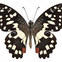 Papilio demoleus (в пакетиках)