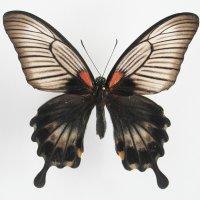 Papilio memnon (в пакетиках)