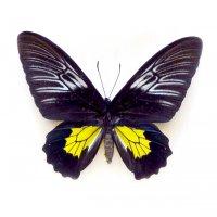 Troides rhadamantus самка (в пакетиках)
