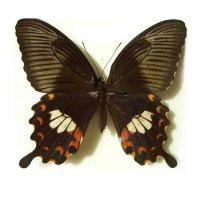 Papilio polytes самка (в пакетиках)