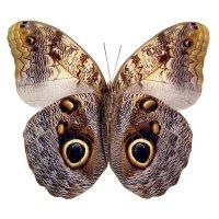 Бабочка Сова в пакетиках