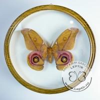 Антерина Сурака (круглая) бархат