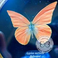 Аппиас Заринда (круглая) бархат
