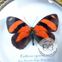 Калликора циносура (круглая)