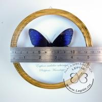 Эуплоя Мульцибер (круглая)