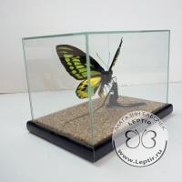 Птицекрылка Ротшильда