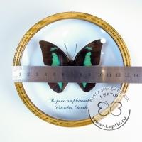 Препона Амфимахус (круглая)