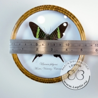 Урания Фульгенс (круглая)