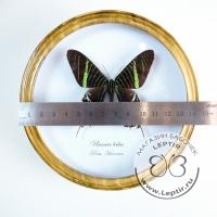 Урания Лейлус (круглая)
