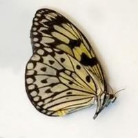 Идэя (сложенные крылья)