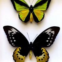 Птицекрылки Голиаф пара ♀ и ♂