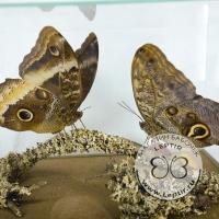 Пара бабочки Совы в кубе