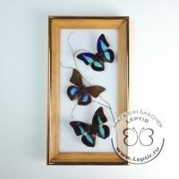 бабочки Препоны микс