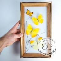 бабочки Желтушки микс