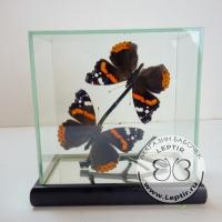 бабочки Адмиралы в кубе