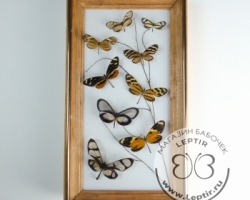 бабочки Итомиды микс